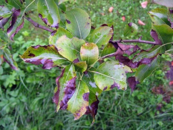 Почему на груше скручиваются листья и чем обработать дерево