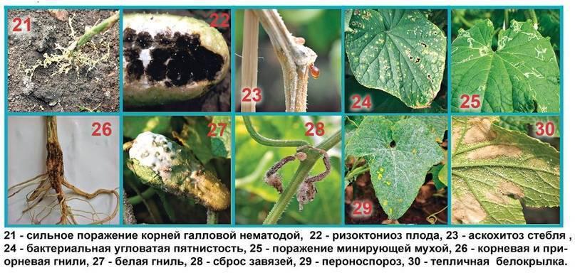 Вредители огурцов: описание, название и борьба с ними. 115 фото и эффективное лечение огурцов