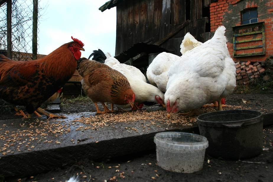 Курица не ест только пьет воду