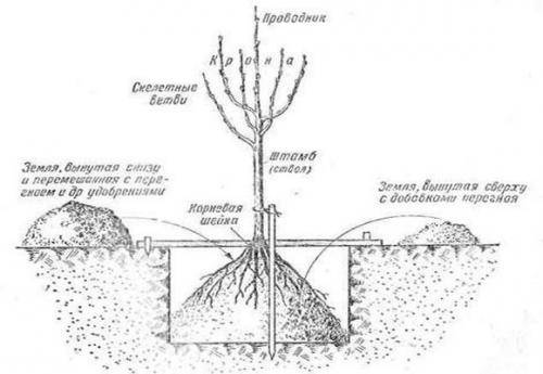 9 диковинных плодовых деревьев и кустарников для вашего сада