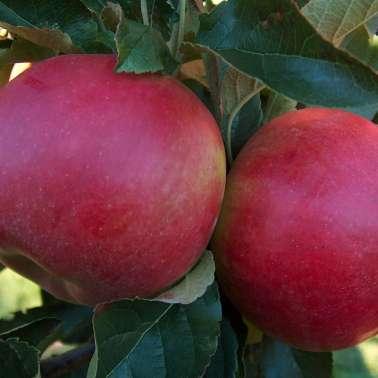 Яблоня коваленковское: особенности сорта и ухода
