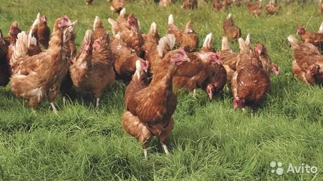Кохинхин (порода кур): описание, особенности разведения в домашних условиях