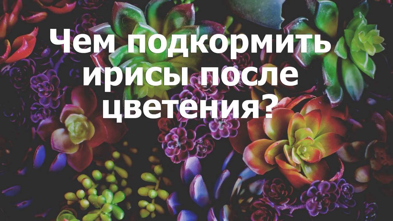 Чем подкормить ирисы? чем подкармливать весной в мае? подкормка во время и после цветения. чем удобрять во время бутонизации для пышного цветения?