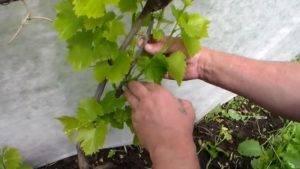 Правильная пошаговая обрезка винограда для начинающих - vinograd-loza