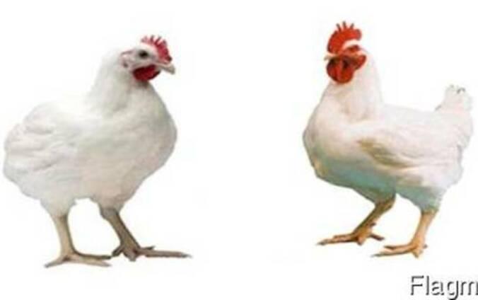 Кобб 500 как получить инкубационное яйцо. средний вес бройлера на разных стадиях выращивания