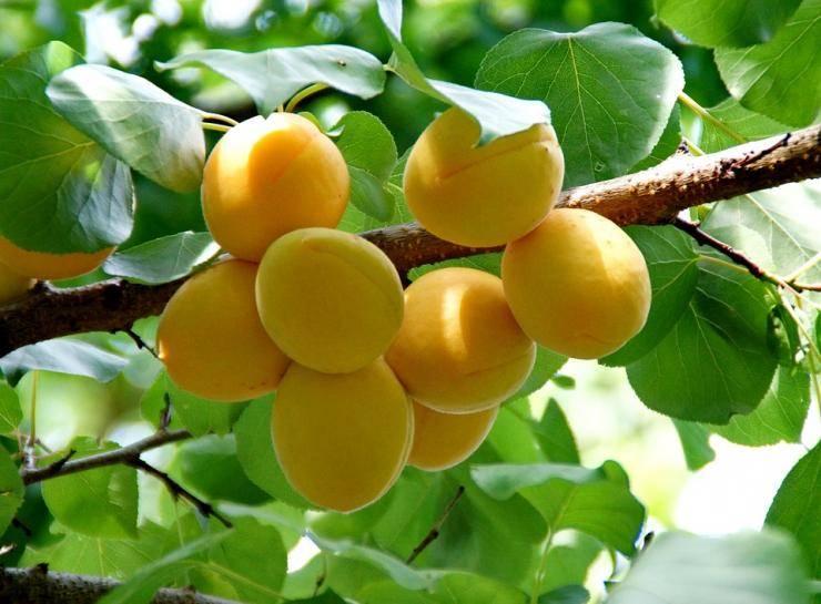 Монилиоз абрикосов (монилиальный ожог абрикоса): фото, как лечить - лечение болезни абрикосовых деревьев, сорта абрикосов устойчивых к монилиозу