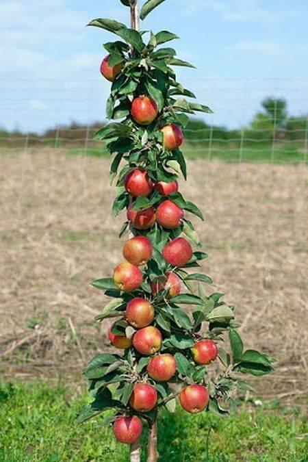 Колонновидные сорта яблонь: описание, характеристика, фото, отзывы