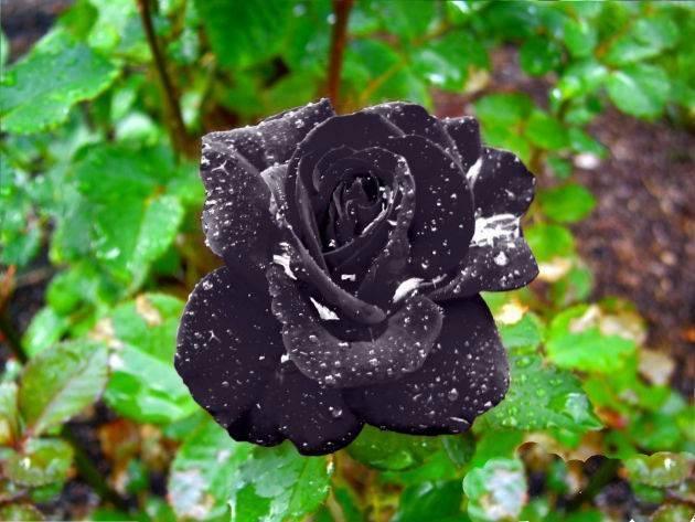 Зеленая роза – философия вечности