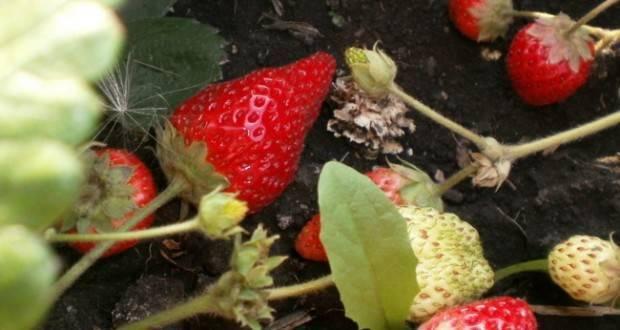 Клубника: болезни и вредители. обработка сада весной