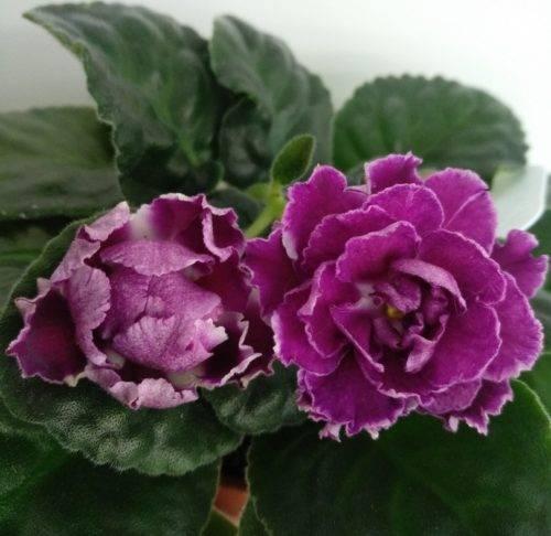 Сортовая фиалка «ледяная роза» — роскошный букет на вашем подоконнике!