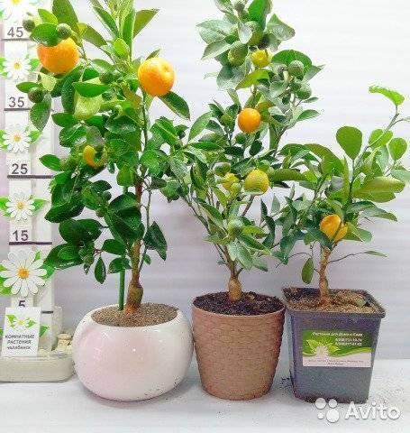 Мандариновое дерево: уход, выращивание и особенности посадки в домашних условиях (125 фото и видео инструкция)