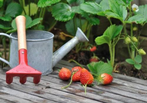 Подкормка клубники весной: чем удобрять клубнику до и во время цветения для хорошего урожая