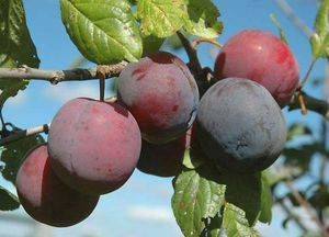 Описание сливы сорта персиковая: характеристики, фото, отзывы садоводов