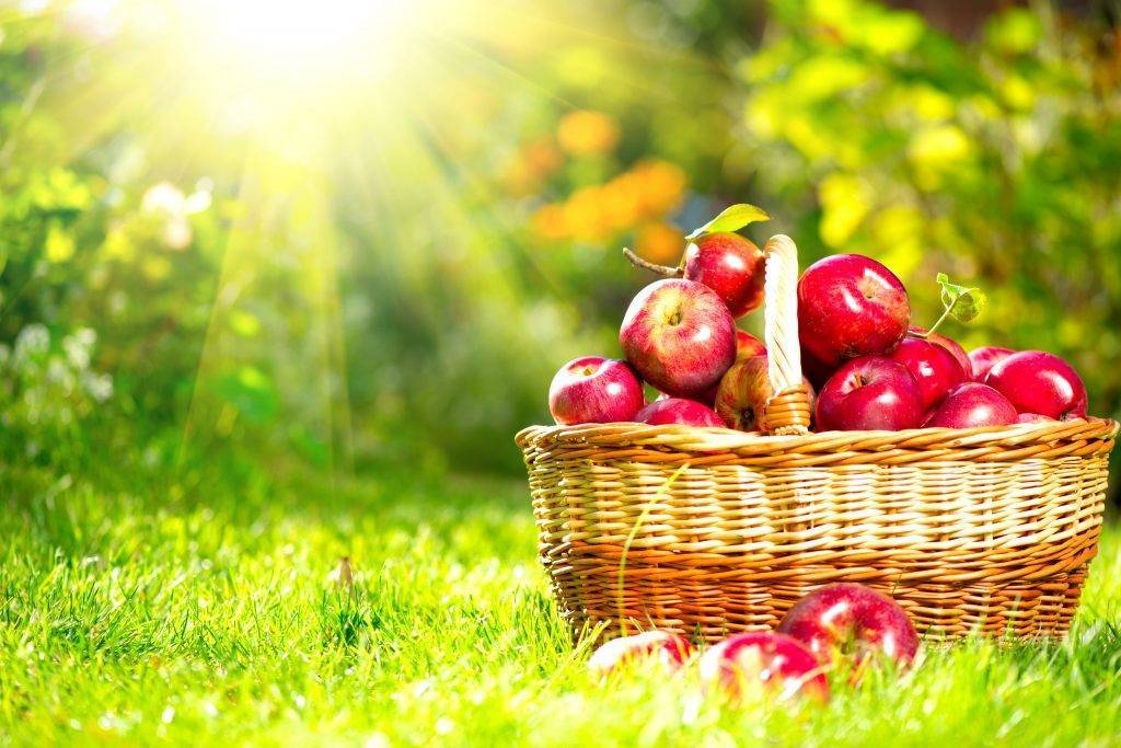 Популярный сорт яблонь универсального типа — звёздочка