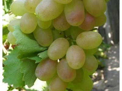 Виноград кеша (талисман, красный кеша, кеша 2): описание сорта и фото, характеристики и особенности
