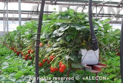 О выращивании самоопыляемых сортов клубники в теплице круглый год