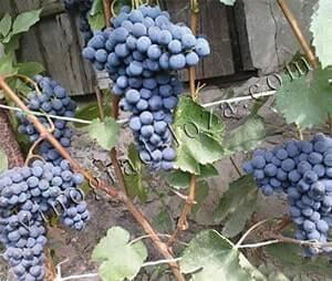 Виноград с историей — саперави: как посадить и вырастить старейший сорт винограда