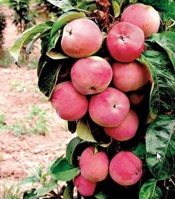 Особенности и описание колоновидных сортов яблони