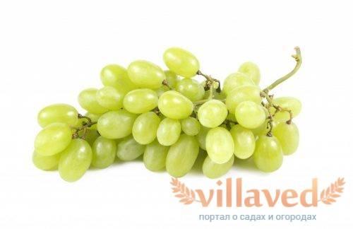 Чем примечателен виноград «бажена»: описание сорта. особенности посадки и размножение винограда «бажена», уход за сортом