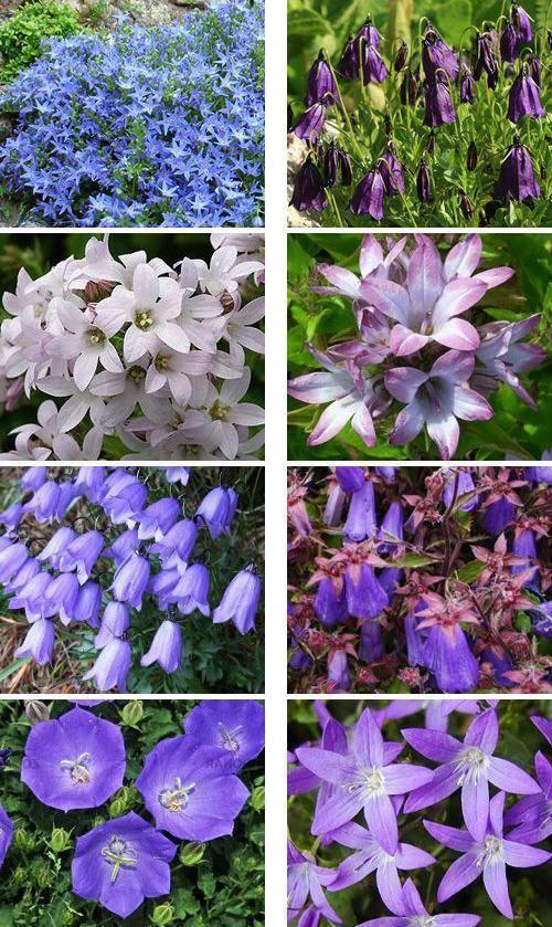 Колокольчик садовый многолетний: как выращивать, какие колокольчики многолетние стоит посадить в саду.