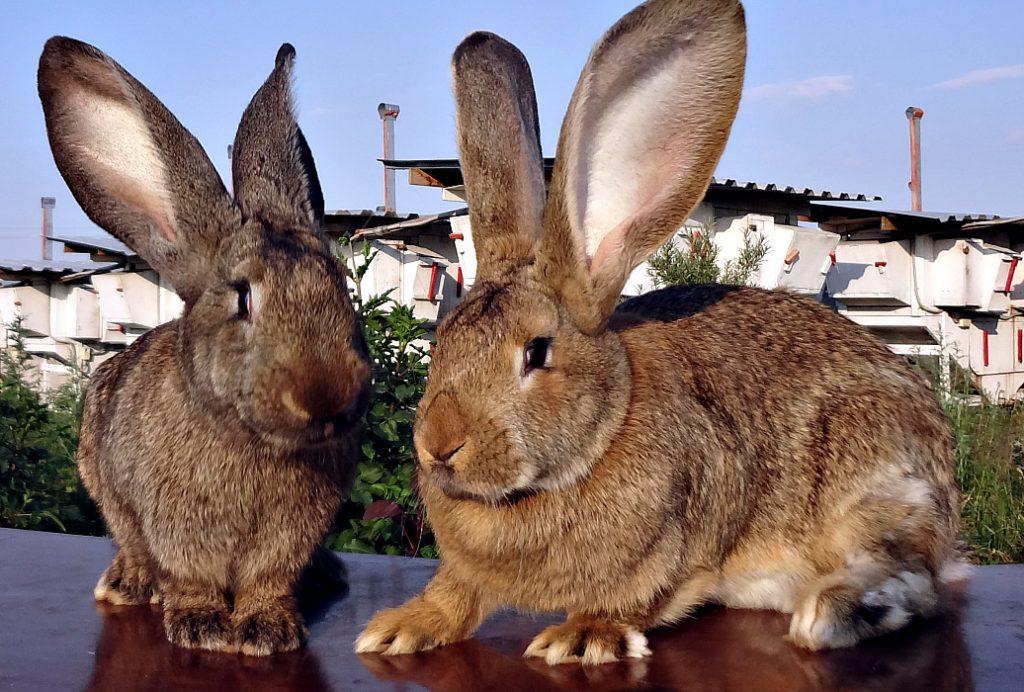 Кролики породы фландр - особенности разведения