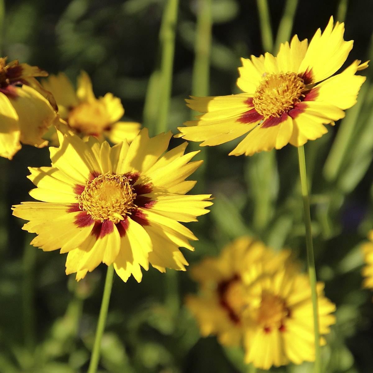 Посадка и уход кореопсиса многолетнего – 5 особенностей, инструкция по выращиванию