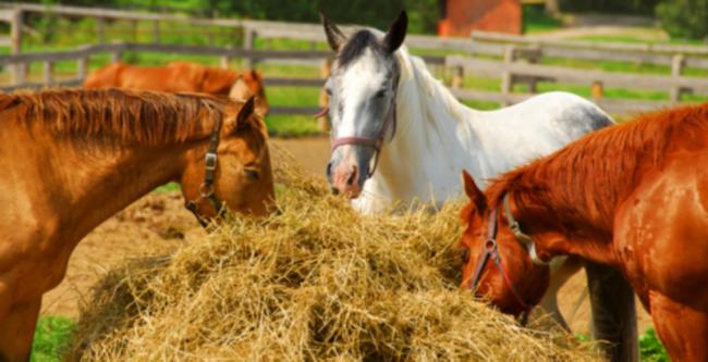 Коневодство.содержание и кормление лошадей