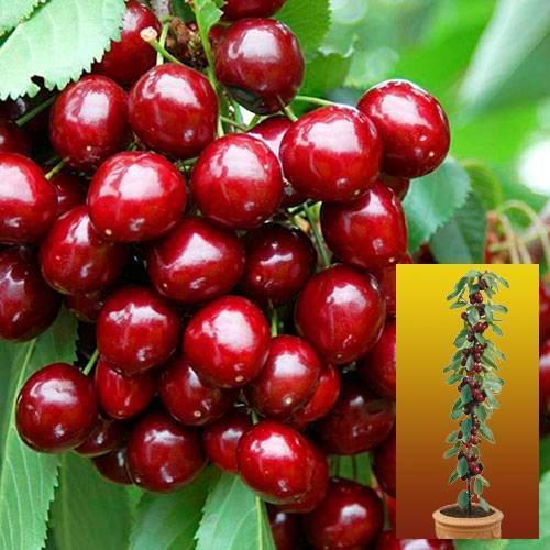 Лучшие сорта колоновидной черешни для выращивания в регионах россии
