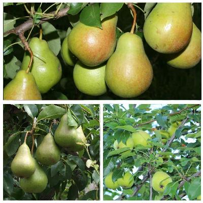 Осенняя груша «памяти яковлева» — морозостойкая культура с сочными плодами
