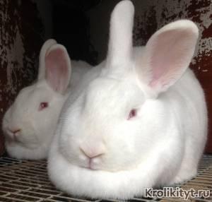 Кролик, порода белый новозеландский