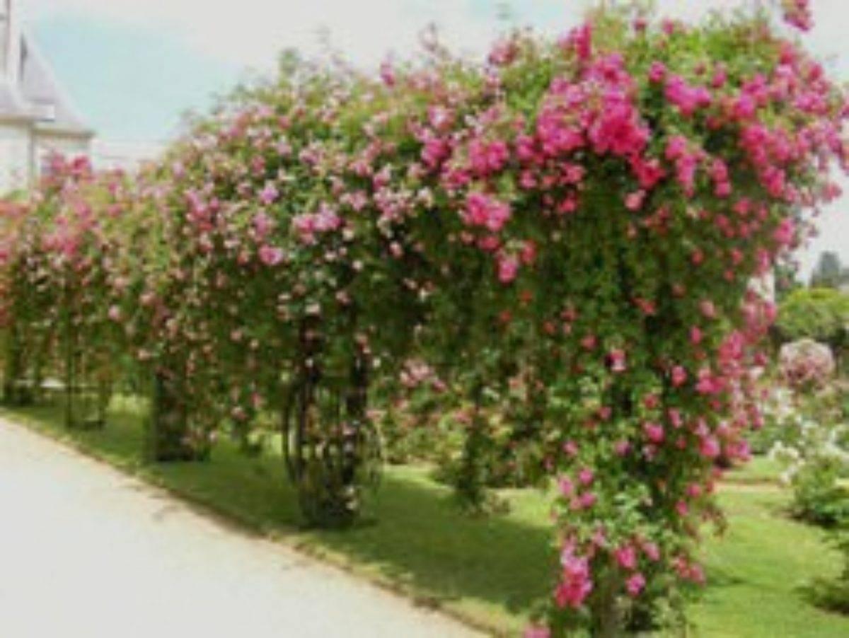 Новое место для «королевы цветов»: как пересадить розу осенью