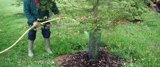 Когда поливать деревья весной