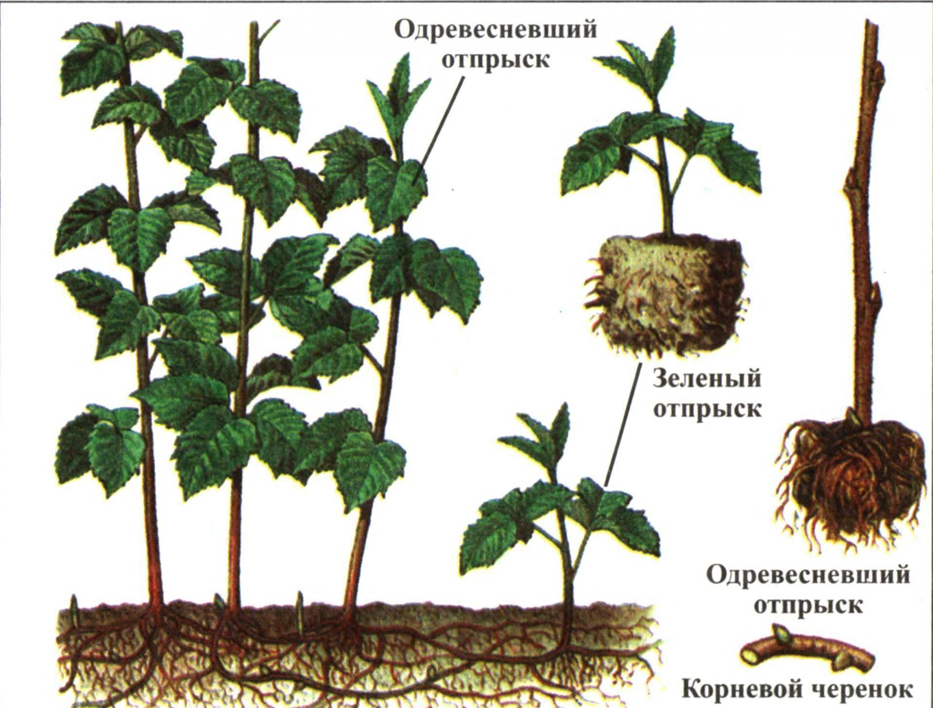 Личный опыт: как я размножаю малину и ежевику маточным корнем
