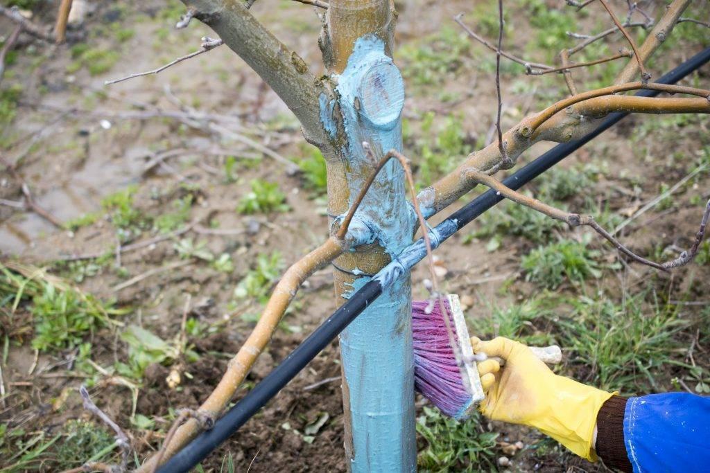 Об опрыскивании яблонь медным и железным купоросом: обработка от вредителей