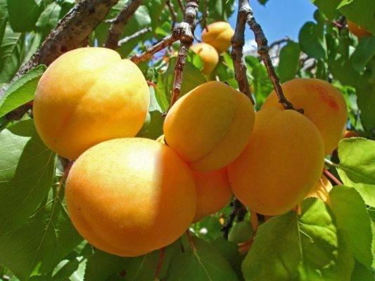 Удобрения для абрикоса при посадке, весной, осенью