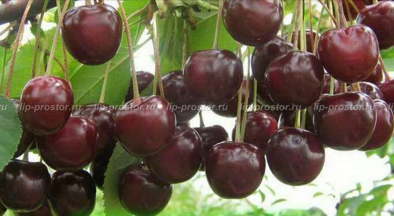 Описание вишни сорта «жуковская»: фото, отзывы