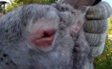 Глисты у кроликов: лечение
