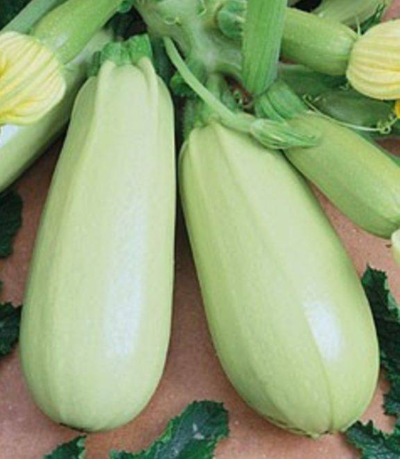 Кабачок «аэронавт»: характеристика сорта и особенности агротехники