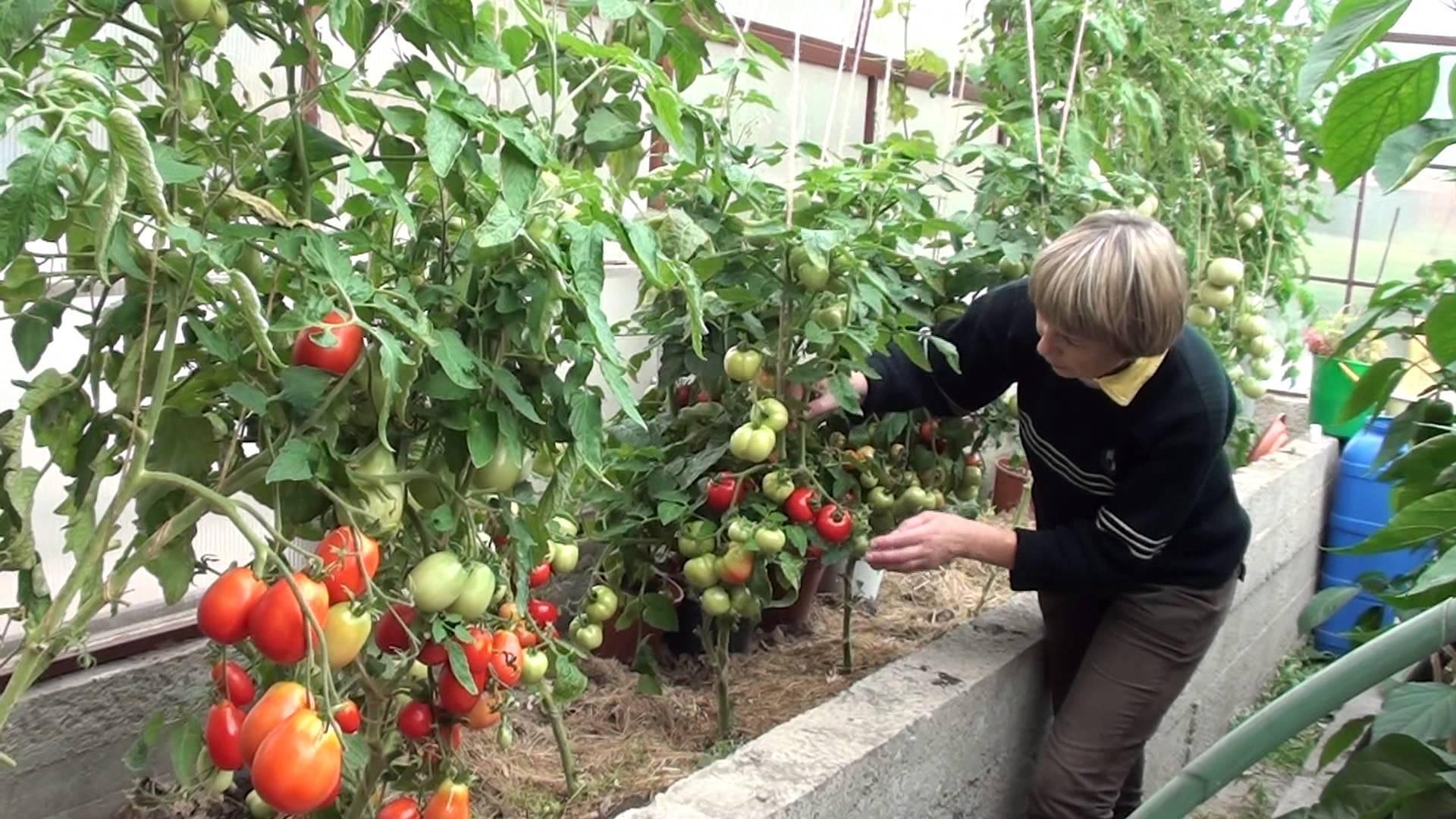 Огурцы и помидоры в одной теплице из поликарбоната посадка и уход