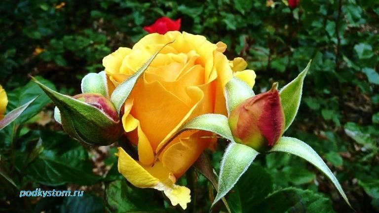 Пересадка роз: когда и как правильно это сделать