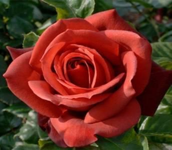 Роза терракота