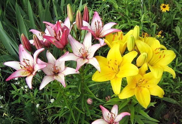 Лилии не растут - запись пользователя алина (kenty) в сообществе сад, огород в категории многолетние цветы - babyblog.ru