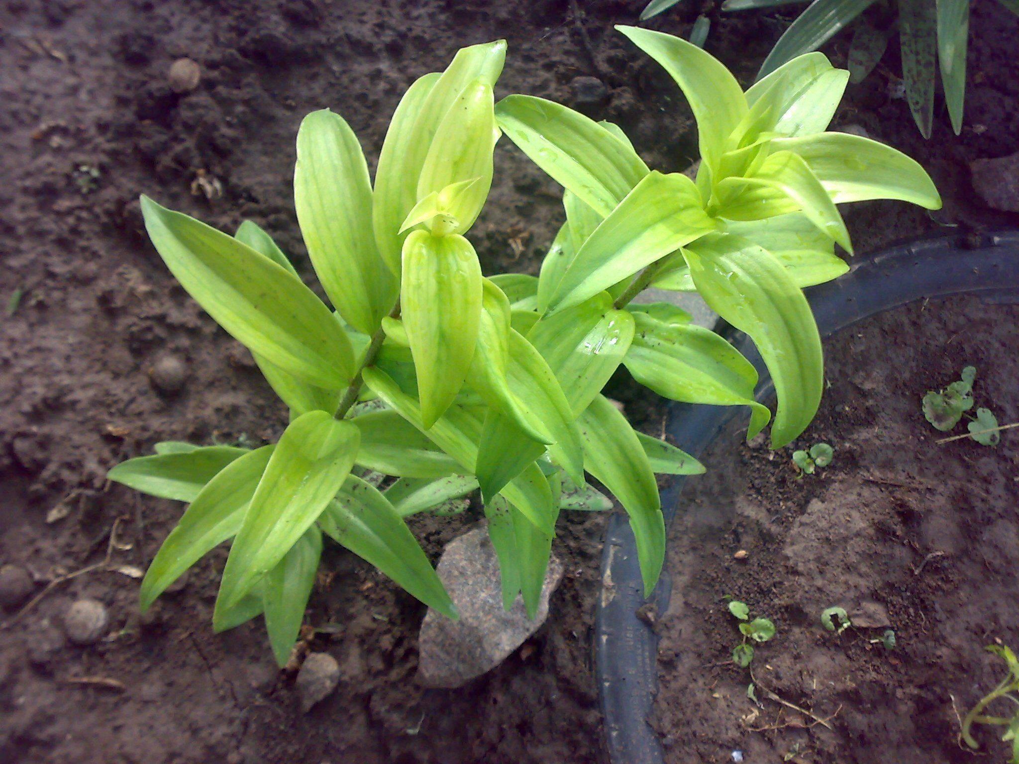 Причины и лечение болезней листьев лилии (желтизна, ржавчина, пестролепестность)