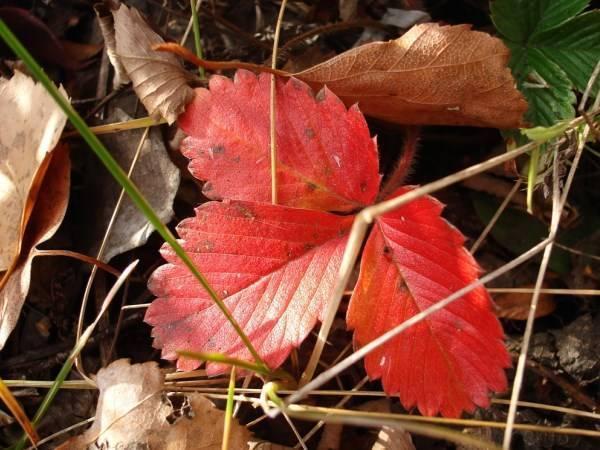 Краснеют листья у клубники: что делать