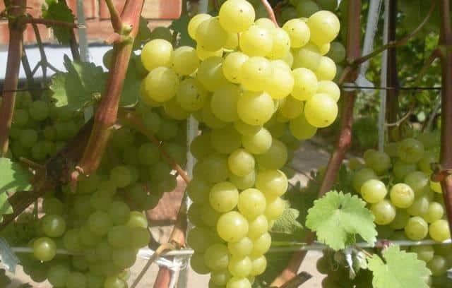 Виноград: сорта для начинающих