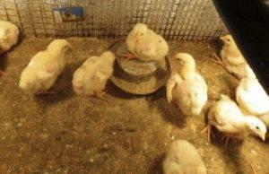 Цыплята бройлеры выращивание, уход и кормление - 10 рекомендаций!