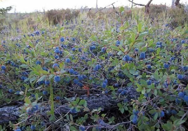 Голубика: выращивание из семян