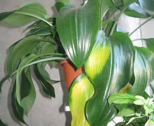 Болезни лилий и лечение: почему желтеют, мельчают листья, как бороться с вредителями?