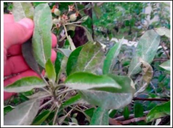 Почему червяки едят яблоки