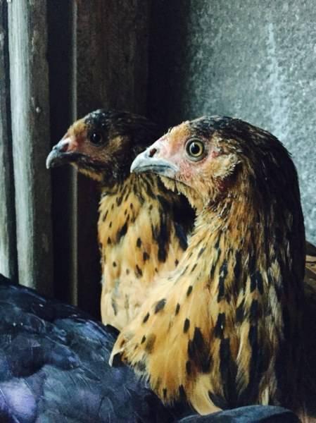 Кучинская юбилейная порода кур: описание